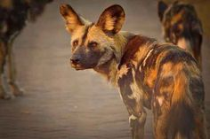 African Wild Dogs and the Necessity of Wildlife Corridors Nature Research, Animal Movement, African Wild Dog, Okavango Delta, Game Reserve, Cheetahs, Wild Dogs, Endangered Species, World Heritage Sites