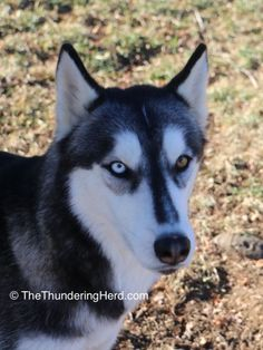 Featuring Typhoon in the Valentine's Hearts for the Herd contest benefitting Sarge's Animal Rescue Foundation, Inc. #dog #siberianhusky #husky