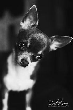 Cute #chihuahua Molly :)