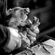"""""""Around 80% of piglets in the UK will have their tails cut off, no anaesthetic is used. This is done because the piglets will be living in such appalling conditions that through frustration, boredom and stress they will bite each others tails. The industry's answer to this problem is not to improve their environment but to cut off their tails. It's cheaper to mutilate them than to give them a natural life. Around 9 million pigs are slaughtered each year in the UK."""" *~❤•❦•:*´`*:•❦•❤~*"""