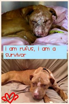 Meet Rufus, a Petfinder adoptable Pit Bull Terrier Dog | New York, NY |