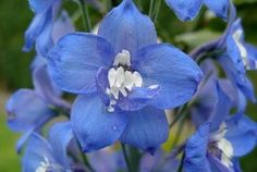 blue and white flowers photos - Bing Images