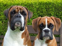All the things we all adore about the Playful Boxer Pup Boxer Dog Breed, Boxer Puppies, Funny Boxer, Funny Dogs, Dog Photos, Dog Pictures, White Boxer Dogs, Horse Names, Face Photo