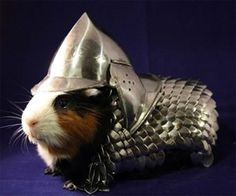 Image result for french guinea pig