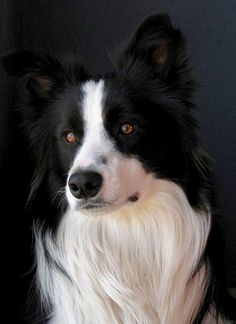 Beautiful portrait of a Border Collie. #bordercollie