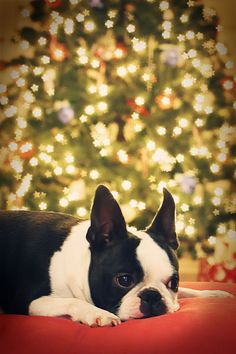 I need a boston terrier.