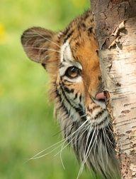 "Meet ""Peek-a-Boo"" Tiger :)"