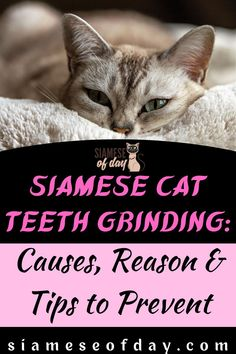 Bruxism or Teeth grinding is seen to be a common condition in cats. Even though it is a common condition, it may not be termed as something normal for the cats. When you hear or watch your kitty grinding its teeth then you should be aware that something is not right. The grinding of the teeth in certain cases would sound more like clicking or chattering. #Siameseofday #Cat #Pet #Siamese #CatTips #kittenCare Teeth Grinding, Kitten Care, Siamese Cats, Kitty, Cases, Watch, Pets, Cuddle Cat, Clock