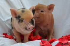Two cute little micro pig piglets pictured with a scattering of rose petals for Valentines www.petpiggies.co.uk