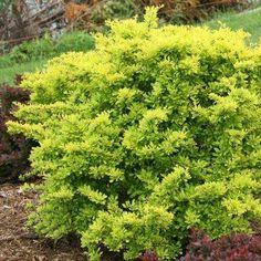 Sunjoy Citrus Barberry (berberis) Live Shrub, Bright Gold Foliage, 1 Gal.