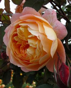 Lady Emma Hamilton - Fruity Smelling Rose
