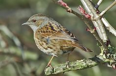 Dunnock - we also have a lot of these. They court by a wing flap dance.