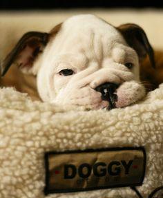 #English #Bulldog #Adorable