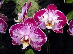 Moth-orchid: Phalaenopsis 'Jiunhao Fairy' -  Flickr - Photo Sharing!