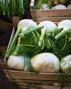 Barba del finocchio: come usarla How to use fennel beard in the kitchen? Discover how not to waste anything on this winter vegetable with our recipes Fennel Recipes, Winter Vegetables, Fruits And Vegetables, Veggies, Vegan Humor, Pudding Recipes, Antipasto, Light Recipes, Vegetarian