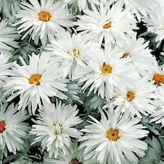 'Crazy Daisy' - The latest sensation in Shasta magnificence! 'Crazy Daisy's blooms are double, frilly, quilled, rolled, frazzled, and curled! Each has its own distinctive look, and all are gorgeous!