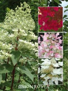 Favorite newer shade plant. Fire and Ice Hydrangea (Hydrangea Paniculata 'Wim's Red) Changes color as the season goes on, large shrub for th shade garden(which is rare), long bloom time, great plant.
