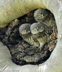 Three Little Owl Babies