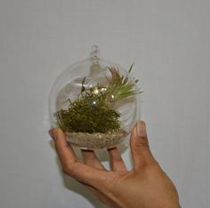 Air plant bubble