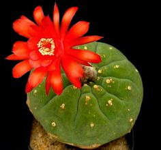 http://www.ebay.es/itm/10-Matucana-madisoniorum-SEMI-SEEDS-SAMEN-no-stapelia-ariocarpus-aloe-agave-/191994764180?hash=item2cb3c79b94