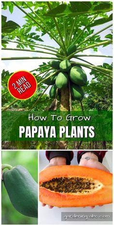 How to grow Papaya Plants Papaya Plant, Papaya Tree, Companion Gardening, Gardening Tips, Fruit Trees, Trees To Plant, Papaya Growing, Container Gardening Vegetables