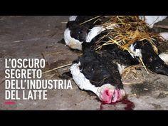 Una nuova scioccante indagine sulla crudeltà dell'industria del latte   Animal Equality Italia