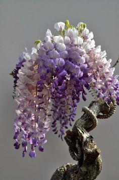 wow, what a gorgeous arrangement (Ancient wisteria bonsai by FunStocki)