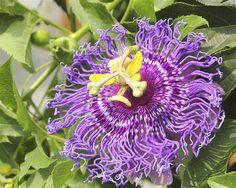 Flor de la pasión (Passiflora kewensis).