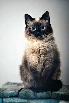 Mussi-Siamesa preciosa.Como compañero destaca por ser alegre, curioso y muy cariñoso. El gato siamés es el más afectuoso de la especie y el más activo.