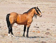 Goliath, Buckskin Mustang Stallion photograph by NevadaWilds