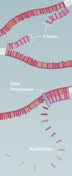 This is one of the best websites I've found for learning genetics lab techniques. It has a detailed animation on PCR