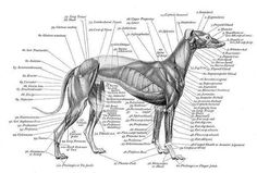 Muscle & Bone Structure Charts - Greyhound