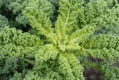 Krazy for Kale? Kale is a versatile, fat blasting super food you can enjoy in a variety of recipes. #superfoods