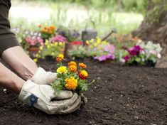 The Hottest Colors for Fall Gardens, According to Landscape Experts Marigolds in Garden Marigolds In Garden, Garden Pests, Planting Flowers, Flower Gardening, Garden Care, Ornamental Kale, Benefits Of Gardening, Gardening Tips, Lush Lawn