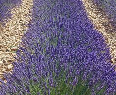 Lavender 'Provence' (Lavandula x intermedia)  Grows 18-24″ tall. Violet, very fragrant flowers bloom all summer on long spikes. Choice plant from France is used in lavender oil production. Bushy habit. Grow in full sun and well drained soil. Perennial.