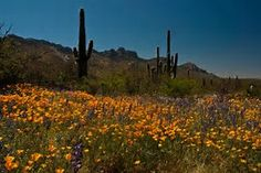 Image result for images of desert flowers