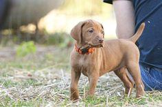 What a cutie! #Vizsla #puppy