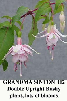'Grandma Sinton' Fuschia