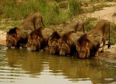History of the Mapogo Male Lions - by Brett Thomson