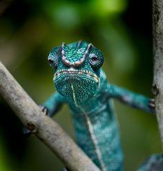 grumpy Panther Chameleon by TheGardensofEden
