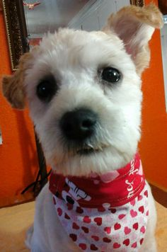 Nugget -- Poodle & Terrier Mix