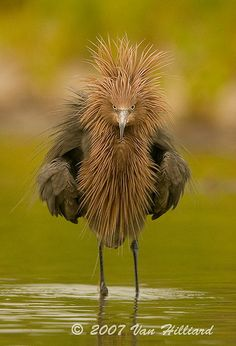 Laugh and you'll egret it! Reddish Egret