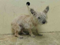 """((*SUPER URGENT*)) Brooklyn Center """"DUTCH""""- A1013417 Male, Cream, CAIRN TERRIER / POODLE MIN, 4 yrs OWNER SUR MOVE2PRIVA Intake Date 09/08/2014, From NY 11213, DueOut Date 09/08/2014, https://www.facebook.com/Urgentdeathrowdogs/photos/pb.152876678058553.-2207520000.1410387436./868324949847052/?type=3&theater"""
