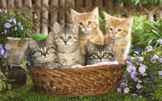 Cats Tabby Cats - 10 Interesting Facts about Tabby Cats - Animal Facts - - Katzen Cute Kittens, Cats And Kittens, Tabby Cats, Black Kittens, Beautiful Kittens, Animal Facts, Cat Facts, Kitten Wallpaper, Cats 101