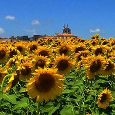 LOVELY LANDSCAPE VIEW ! #SanctuaryofLoreto #landscape #naturalbeauty #sunflowers #skyline #summer #countryside #Loreto #shrine #OurLadyofLoreto #blackMadonna #SantuariodiLoreto #paesaggio #girasoli #estate #campagna #Verginelauretana #MadonnaNera