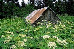 Old barn surrounded by wildflowers-MissMagnolia'sFavorites