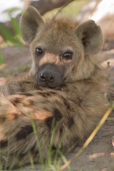 Love these little guys.  Hyenas would be the King of the Jungle, if not for his sloped back.