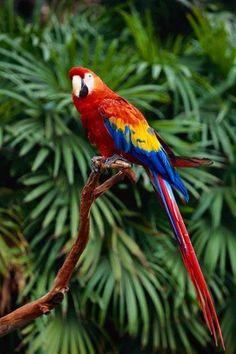 Fauna silvestre del Estado Amazonas, Guacamaya, #Venezuela
