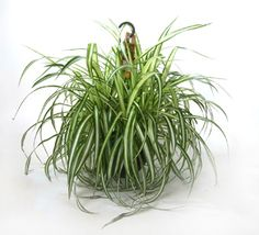 Chlorophytum comosum [Spider Plant]: This Is an Air Purifying Plant