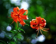 wisconsin wildflowers | Wisconsin Wildflowers. Tiger Lillies